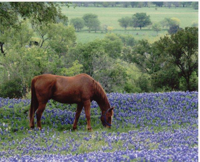 Horse-in-bluebonnets.jpe