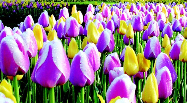 pink-and-yellow-tulips3.jpe