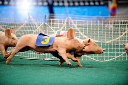 Pig_Races.jpe