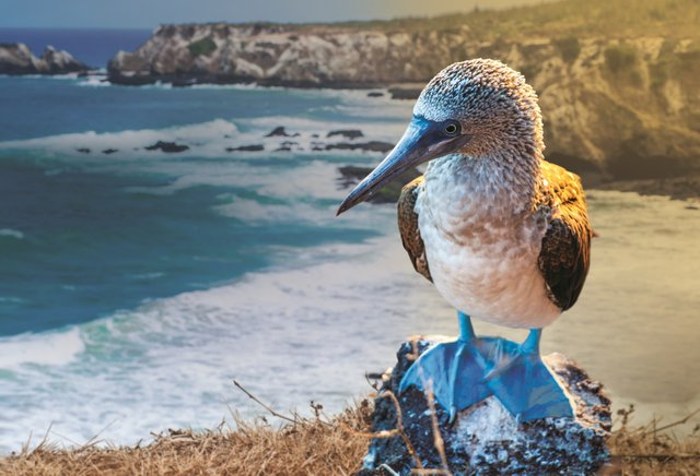 Galapagos Blue footed boobie_small.jpg