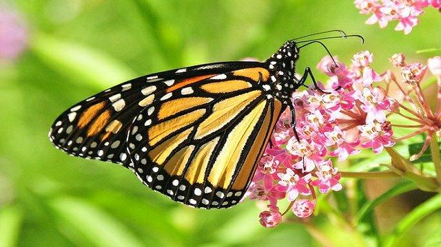 BEC-Monarch-Wild-Day.jpg